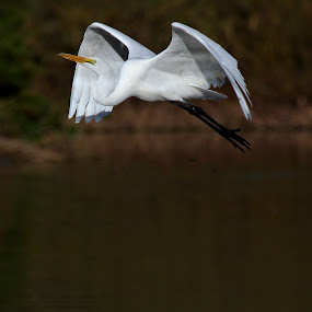 Egret soars by Ruth Jolly - Animals Birds ( bird, nature, wildlife, birds, egret, bird in flight, birding, animal,  )