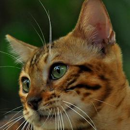 by Cacang Effendi - Animals - Cats Portraits ( cats, kitten, animals, chandra )