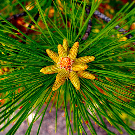 by Joan Rankin Hayes - Nature Up Close Trees & Bushes ( nature, green, plants, trees, pine, evergreen )