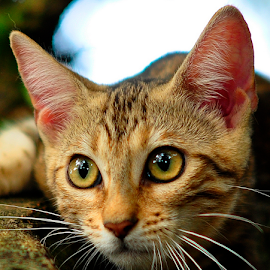 by Cacang Effendi - Animals - Cats Portraits ( cats, kitten, cattery, chandra, animal )