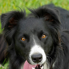 Toby by Giselle Pierce - Animals - Dogs Portraits ( herding dog, border collie, puppy, dog,  )