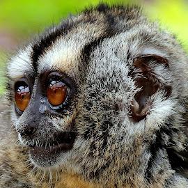 Douroucouli by Ralph Harvey - Animals Other Mammals ( wildlife, ralph harvey, monkey, marwell zoo, animal )