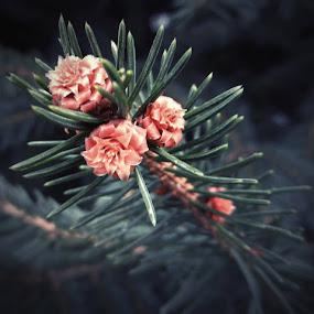 Pine Flower by Nat Bolfan-Stosic - Flowers Tree Blossoms ( pink flower, tree, pine, blossom, flower )