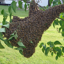 Bees by RichandCheryl Shaffer - Nature Up Close Hives & Nests