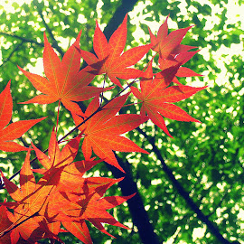 Red Maple Leaves by Jaclyn Wong - Nature Up Close Leaves & Grasses ( contrast, red maple leaves, red, maple leaves, maple )