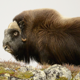 by Kristin Smestad - Animals Other ( moskus, musk, ox )