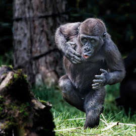 I'm the man by Aya de Ruiter - Animals Other Mammals ( mensaap, aap, gorilla, monkey )