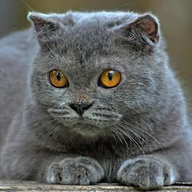 by Cacang Effendi - Animals - Cats Portraits ( cattery, kitten, cat, animals, chandra )