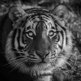 Tiger watch by Dave Harper - Animals Lions, Tigers & Big Cats ( monochrome nature tiger big cat, black and white,  )