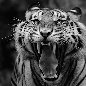 Roar by Dikky Oesin - Black & White Animals ( big cat, danger, tiger, roar, fangs, wildlife, animal, black and white )