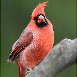 Flights Grounded by Dennis Ba - Animals Birds ( cardinal )
