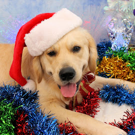 Yay Christmas Time by Julie Blight - Animals - Dogs Portraits (  )