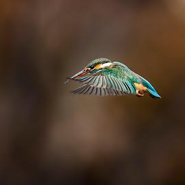 Common Kingfisher  by Đỗ Hùng - Animals Birds ( bird, great, beautiful, kingfisher, nice )