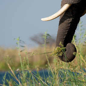 Breakfast at river bank by Marsilio Casale - Animals Other Mammals ( nature, elephant, zambia, closeup, animal, river )