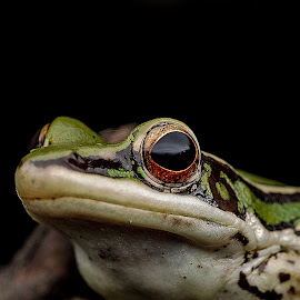 Common frog by Jali Razali - Animals Amphibians (  )