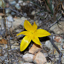 Fall daffodil