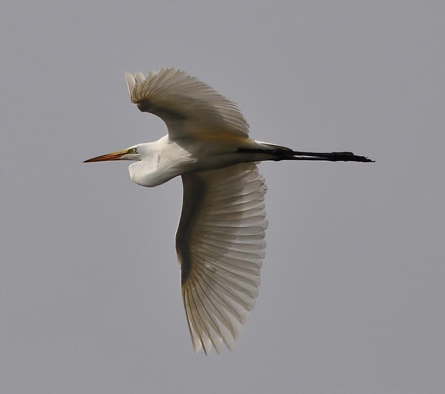 Egret In Flight by Ed Hanson - Animals Birds ( nature, egret )