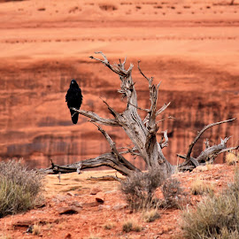 Lone raven on branch by Tina Wiley - Landscapes Deserts ( wild fowl, animals, desert, fowl, juniper, cliff, animalia, sandstone, navajo sandstone, wildlife, colorado plateau, bird, raven, wilderness, nature, rugged, black )