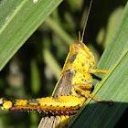 Javanese grasshopper, belalang kayu, belalang kunyit
