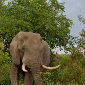 Tusker turning left by Tobie Oosthuizen - Animals Other Mammals ( elephant, male, green.ears, brown, tusks )