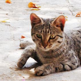 Goshu by Lalaji Anwar - Animals - Cats Playing