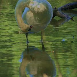 Swan by Darren Peckham - Novices Only Wildlife ( uk, reflection, nature, sigma, wildlife, swan, nikon,  )