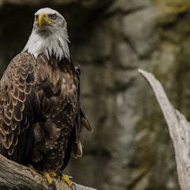 Bald Eagle by John Falco - Novices Only Wildlife