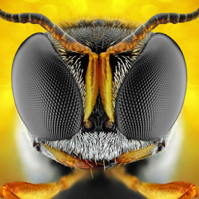 Square-Headed Wasp by Donald Jusa - Animals Insects & Spiders ( macro, nikon, insects, closeup, wasps )