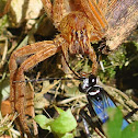 Tarantula Hawk Wasp (female)
