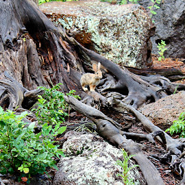 Bunny by Kume Bryant - Animals Other ( rabbit, plant, wood, wildlife, leaf, landscape, nature, tree, foliage, summertime, rocks, animal, bunny ears, park, bunny, grass, green, roots, forest, environment, wooden, easter, season, bushes, scene, summer, paws, natural )