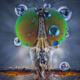 The Robber Fly..... by Vincent Sinaga - Animals Insects & Spiders ( extreme macro, dew, insect, animal, robberfly )