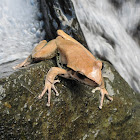Northern Stony Creek Frog