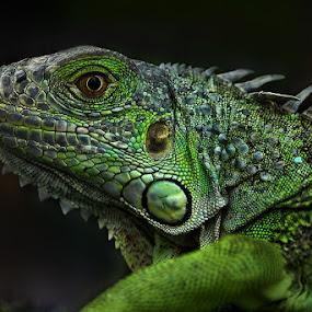 Iguana by Mc Pujiyanta - Animals Reptiles