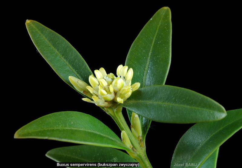 Buxus sempervirens inflorescence and leafs - Bukszpan zwyczajny kwiatostan i liście
