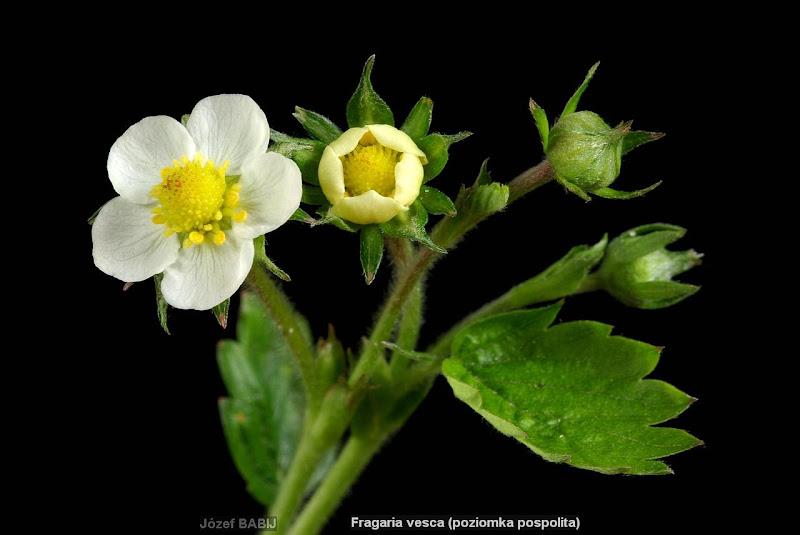 Fragaria vesca flower - Poziomka pospolita kwiat
