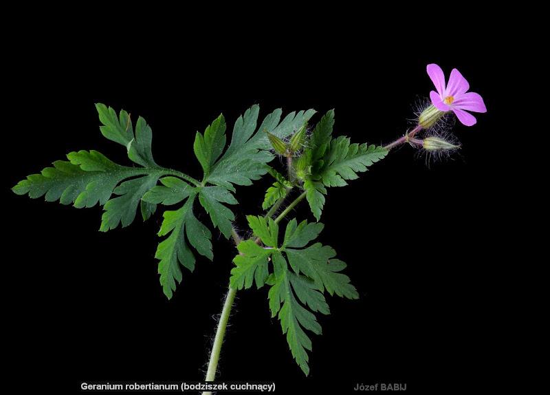 Geranium robertianum leafs - Bodziszek cuchnący liście