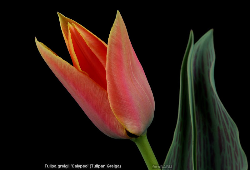 Tulipa greigii 'Calypso' flower - Tulipan Greiga kwiat