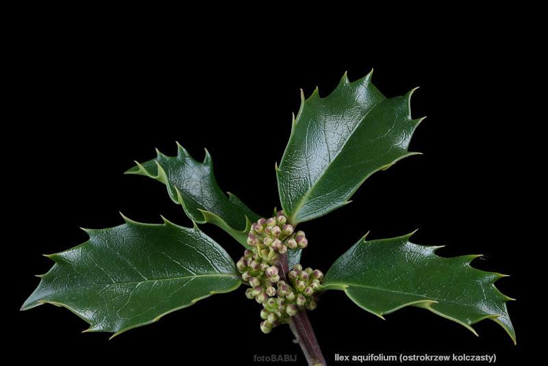 Ilex aquifolium flower bud - Ostrokrzew kolczasty pąki kwiatowe