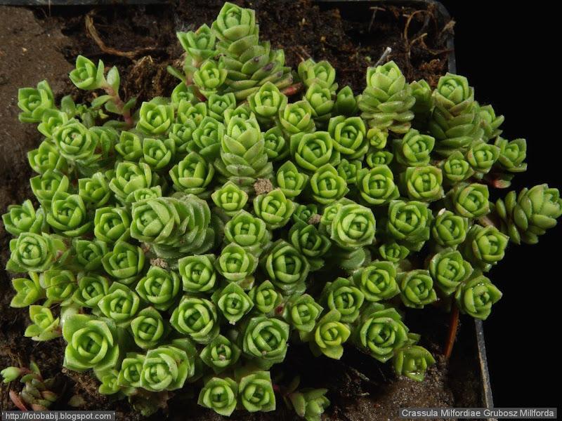Crassula Milfordiae habit -  Grubosz Millforda pokrój