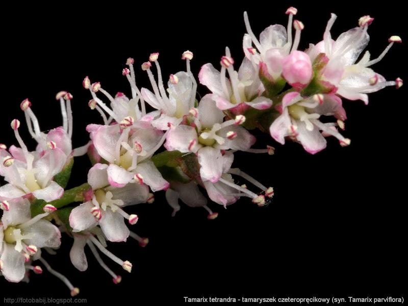 Tamarix tetrandra (syn. Tamarix parviflora) flowers - Tamaryszek czeteropręcikowy kwiaty