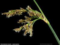 Schoenoplectus lacustris flower - Oczeret jeziorny kwiaty, kwiatostan