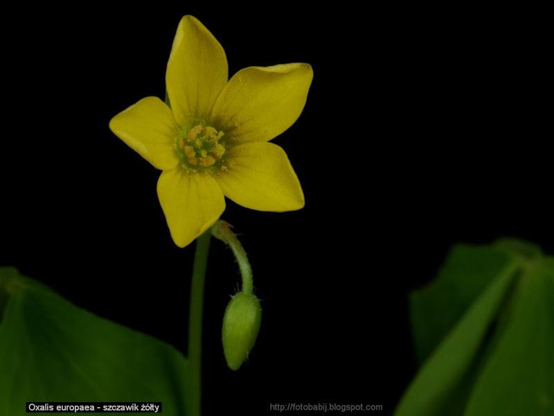 Oxalis europaea flower - Szczawik żółty kwiat