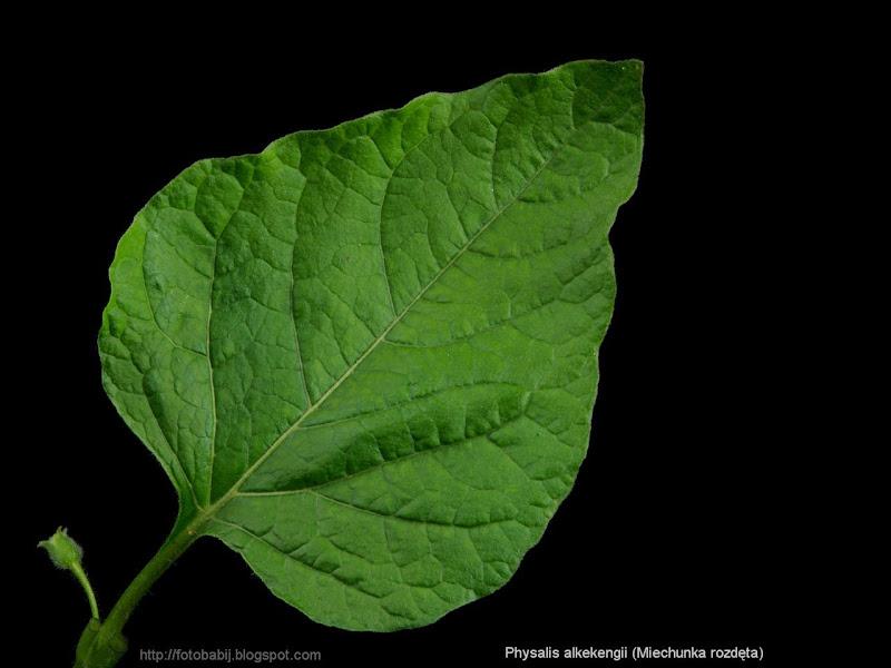 Physalis alkekengi leaf - Miechunka rozdęta liść