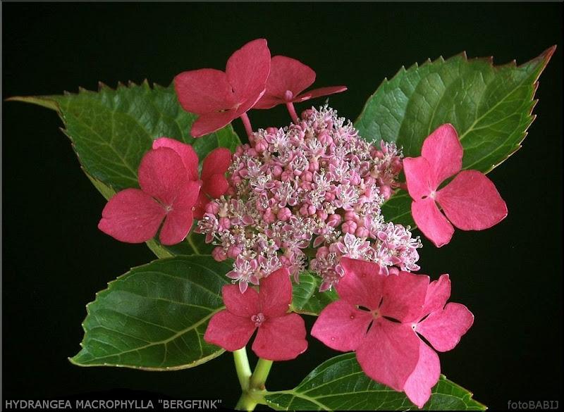 Hydrangea macrophylla 'Bergfink' flower - Hortensja ogrodowa 'Bergfink' kwiaty