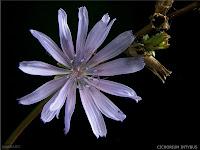 Cichorium intybus flower - Cykoria podróżnik kwiat