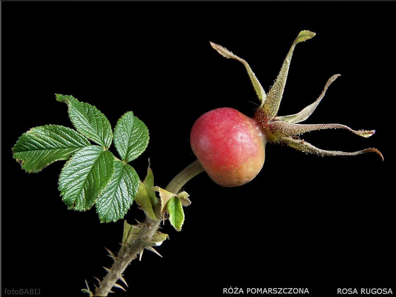 Rosa rugosa fruit - Róża pomarszczona owoc