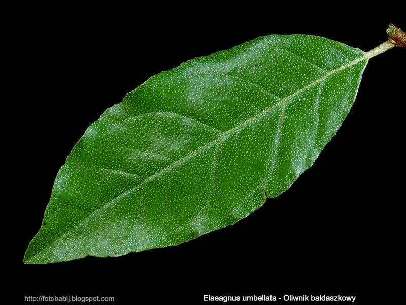 Elaeagnus umbellata leaf - Oliwnik baldaszkowy liść