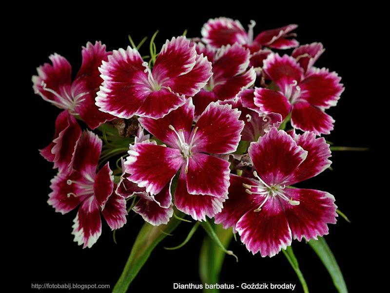 Dianthus barbatus flowers - Goździk brodaty kwiaty
