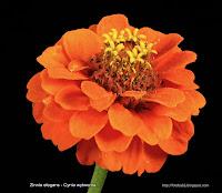 Zinnia elegans flower - Cynia wytworna kwiat