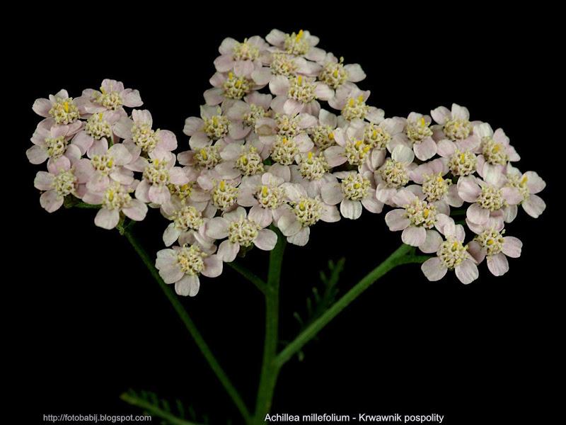 Achillea millefolium light pink flowers form - Krwawnik pospolity kwiaty forma jasnoróżowa